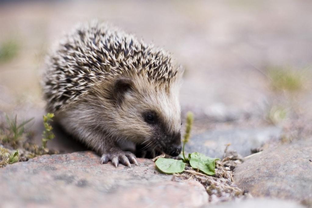 hedghehog
